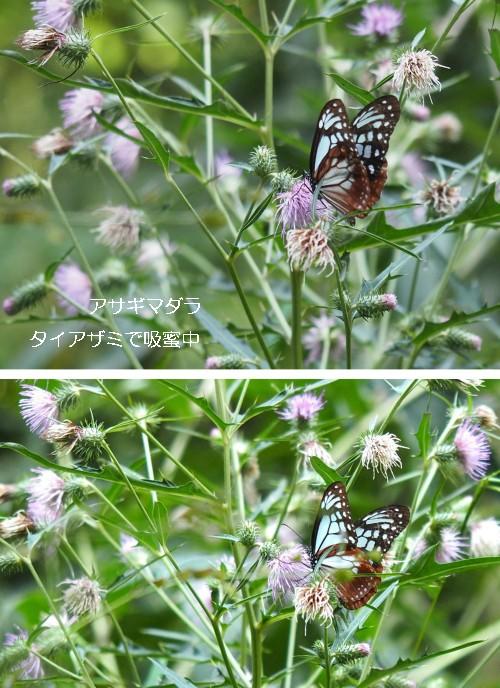 アサギマダラ-500T.jpg
