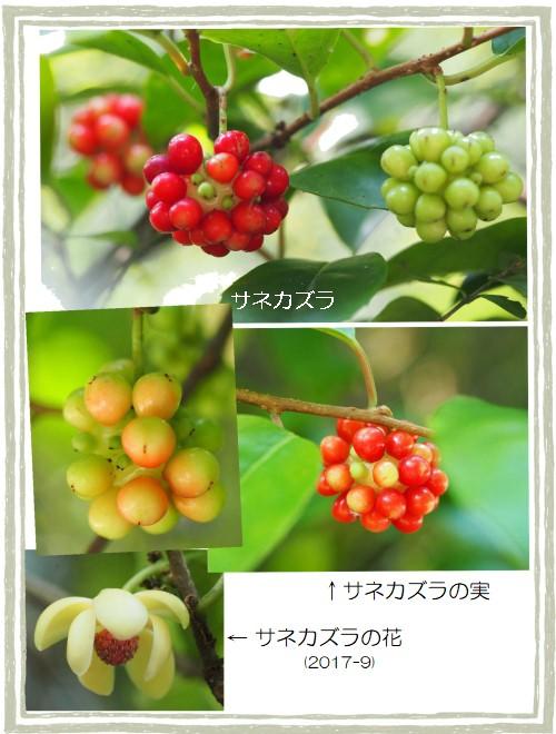 サネカズラ-2-500T.jpg