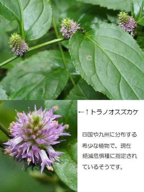 トラノオスズカケ-500T.jpg