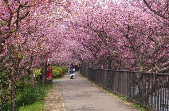 桜 (259)-550.jpg