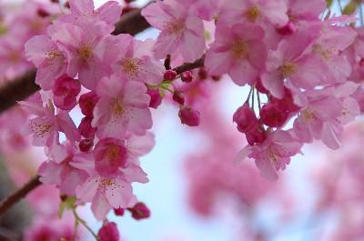 桜 (62)-400.jpg