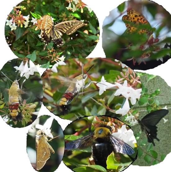 アベリアと昆虫-550.jpg