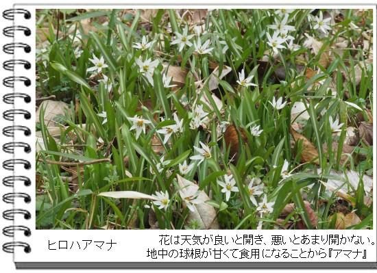 アマナ-550-5T.jpg