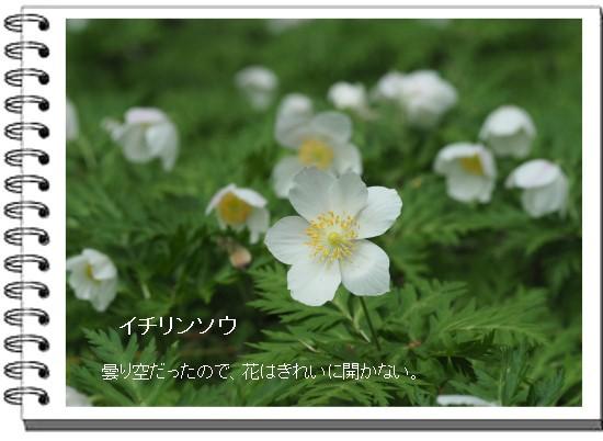 イチリンソウ-550-2T.jpg