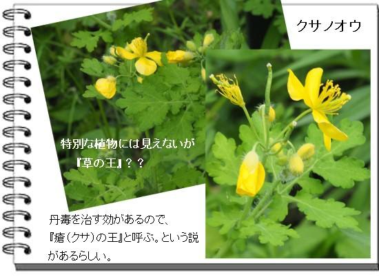 クサノオウ-550-6T.jpg