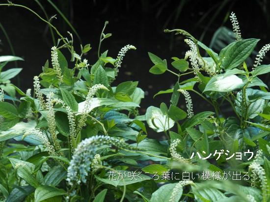 トモエ (33)-550T.jpg