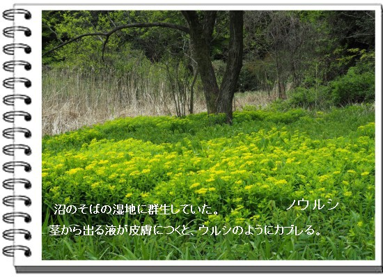 ノウルシ-550-3T.jpg