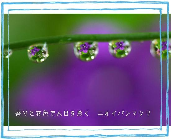 バンマツリ-550T.jpg