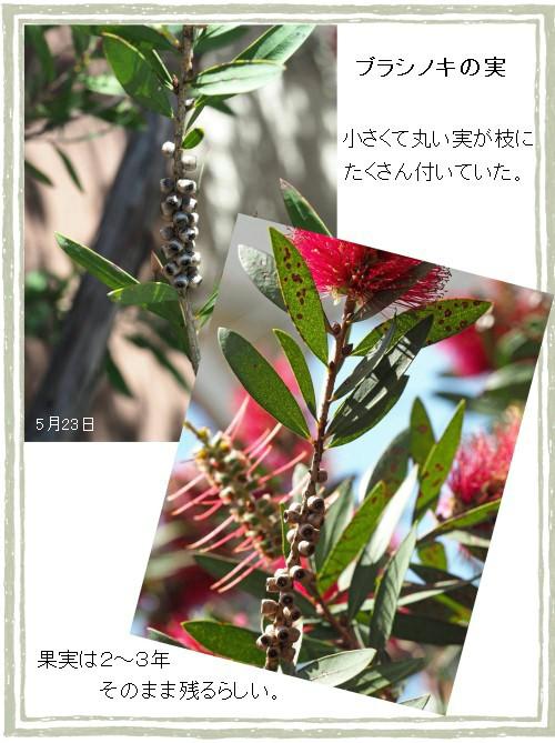 ブラシノ実-500-6T.jpg