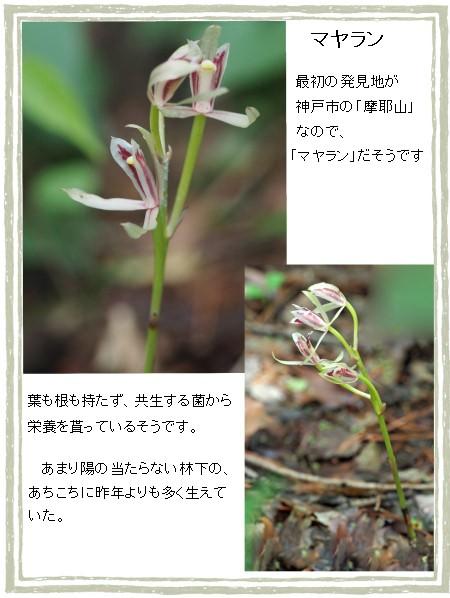 マヤラン-450-6T.jpg