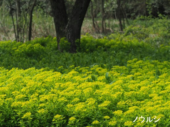 ミツガシワ・ノウルシ (19)-550T.jpg