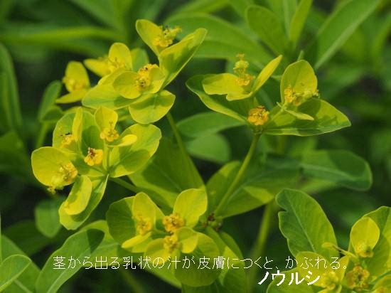 ミツガシワ・ノウルシ (23)-550TT.jpg