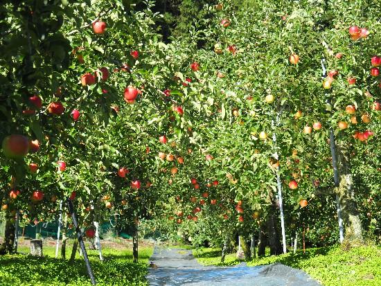 リンゴ狩り (67)-550.jpg