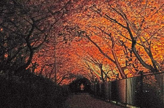 桜 (141)-550.jpg