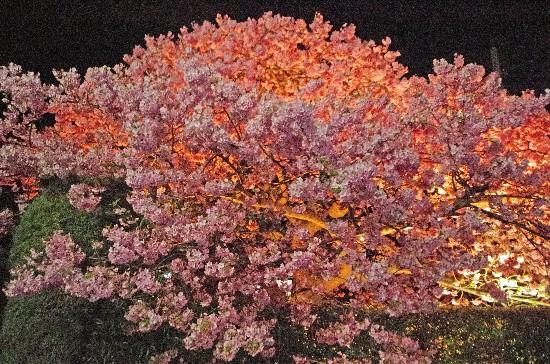 桜 (174)-550.jpg