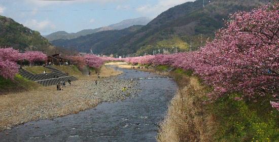桜 (20)C-550.jpg