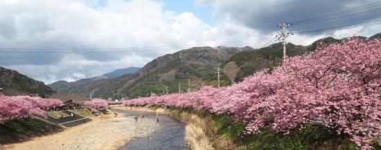 河津桜 (18)-C-550.jpg