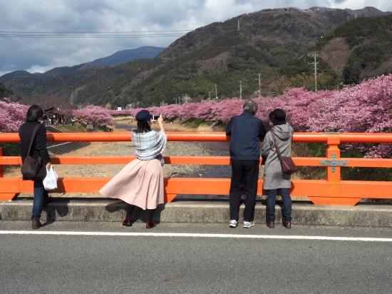 河津桜 (7)-550.jpg